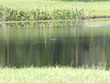 Alligator in pond at our hotel