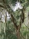 Spanish Moss in Gainesville