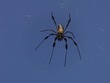 Banana Spider (flash)