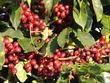 Coffee Beans on the hoof