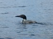 Loon on Highland Lake