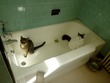 Kitties in the tub