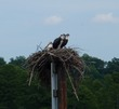 Osprey nest with parents & chicks