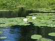 Lily pads up the Sudbury