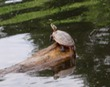 Turtle on the Charles