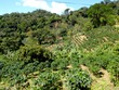 Coffee growing on the hill